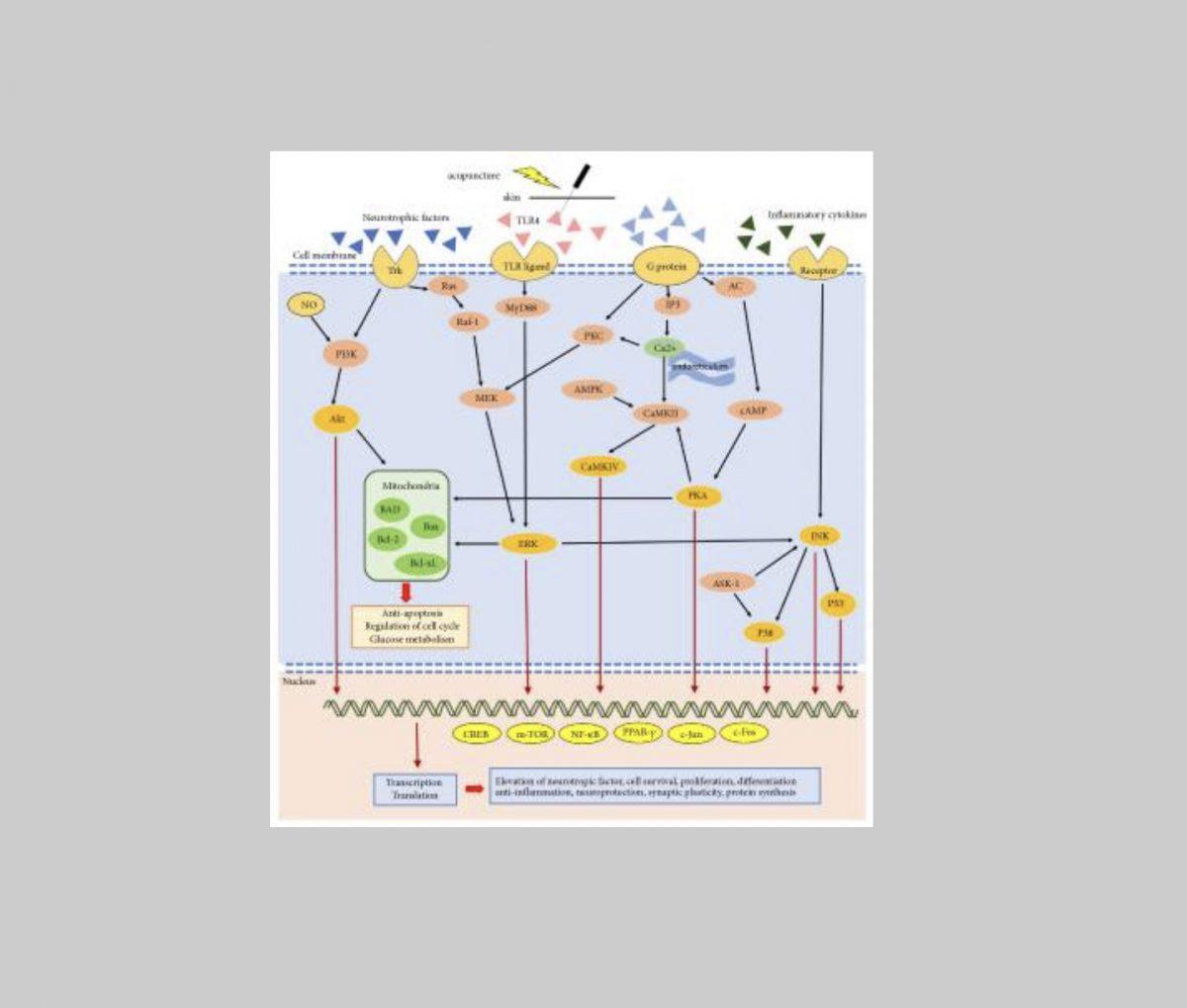 Funcionamiento de la acupuntura en enfermedades neurológicas